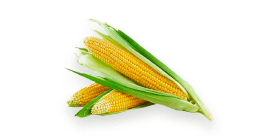 Semences de maïs